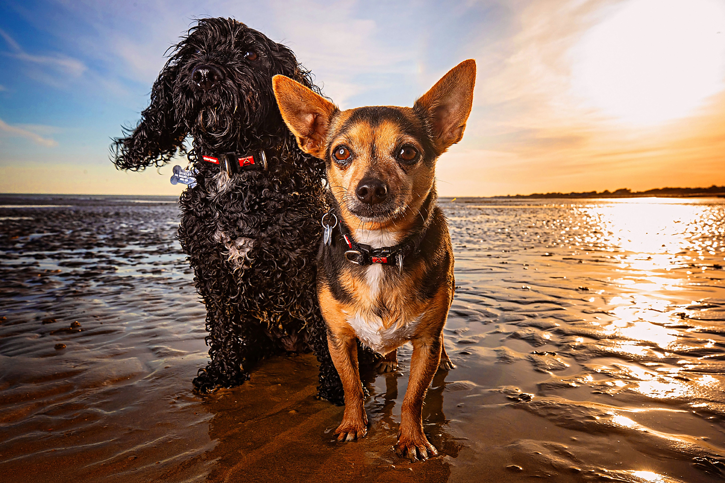 Dog friends photographed together on Ferring beach at sunset in Sussex, pet photography shoot, dog portraits