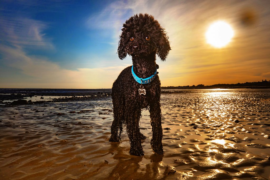 Poodle pet photography, dog photography, pet photography, West Sussex pet photography