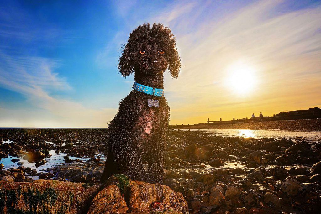 Poodle photography session on the beach in West Sussex, pet photography, dog photography